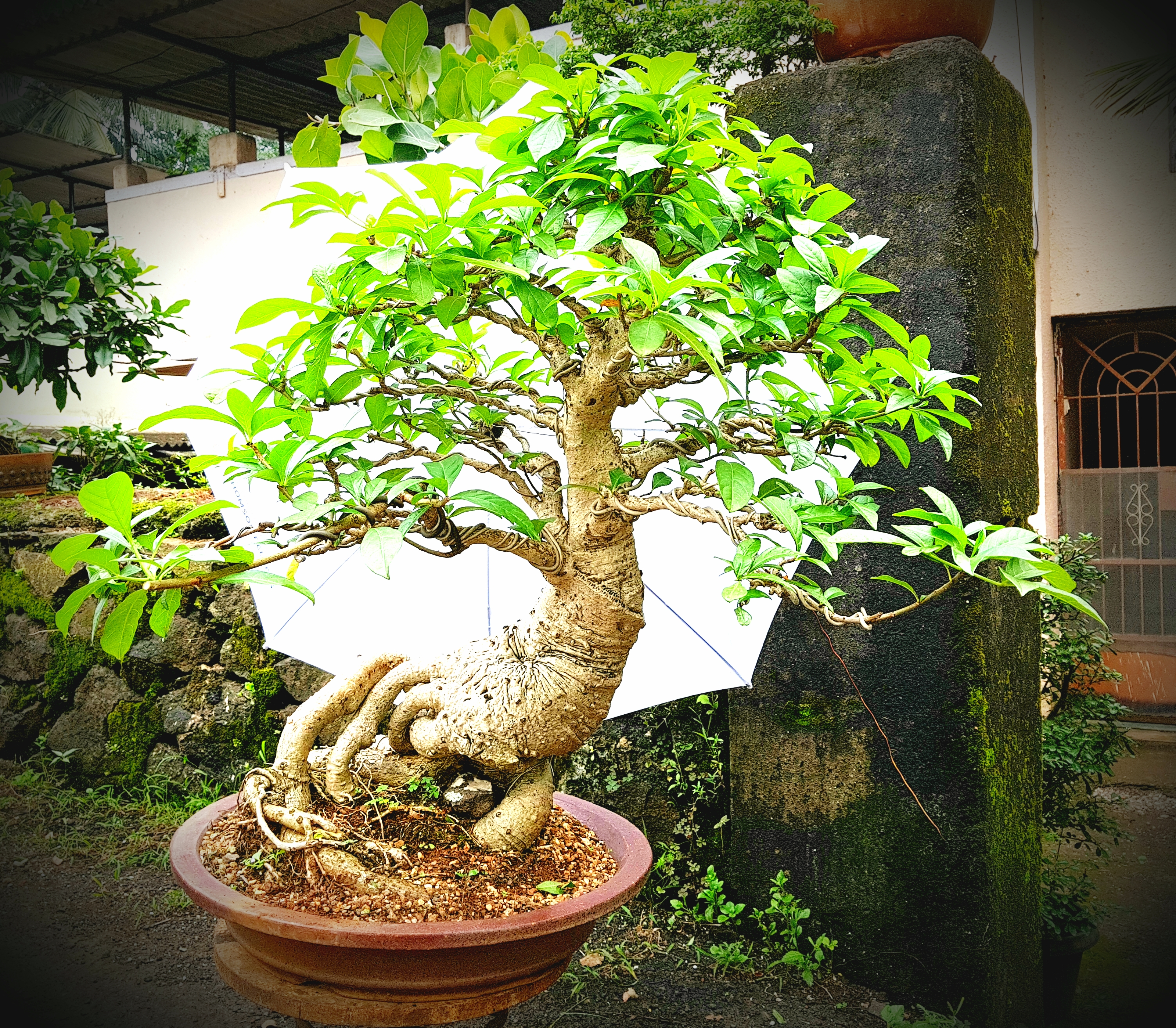 Rajeev Vaidya Rucha Bonsai Wiring Demo The Importance Of Nebari Or Surface Roots In